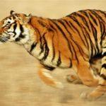 Георгиевская ленточка и амурский тигр как символы духа России