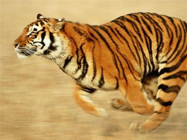 тигр символами смс