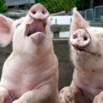 Валентин Катасонов: Каким образом «свинское сословие» управляет Скотным двором